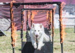 dog assault course
