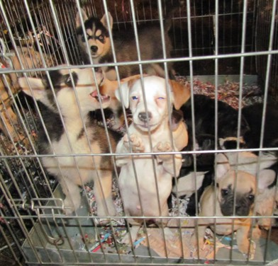 Puppies in cages